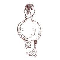 小鴨の線画イラスト