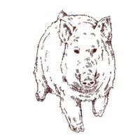 大きい猪の線画イラスト,フリーイラスト,フリー素材,線画イラスト,年賀状